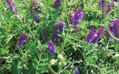 Vicia villosa: cómo bajar 20% la dosis de secado mediante adyuvantes